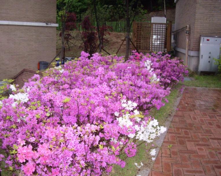 Pink blooms at a Korean backyard