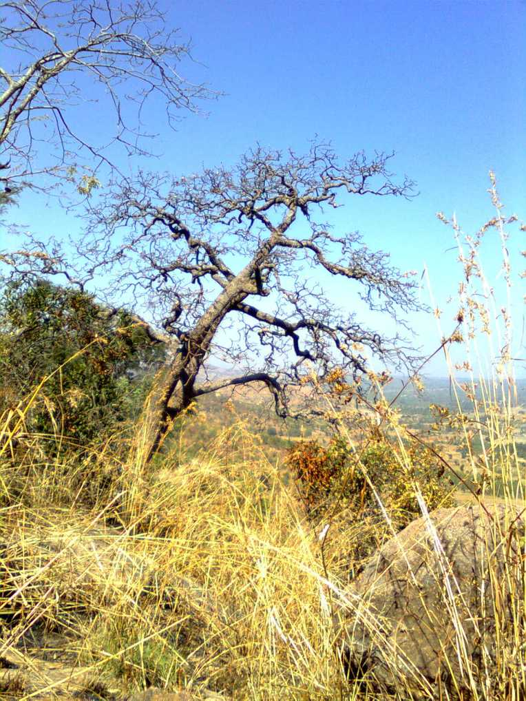 A gnarled tree by the edge of a cliff in Rangaswamy hills,in the outskirts of bangalore