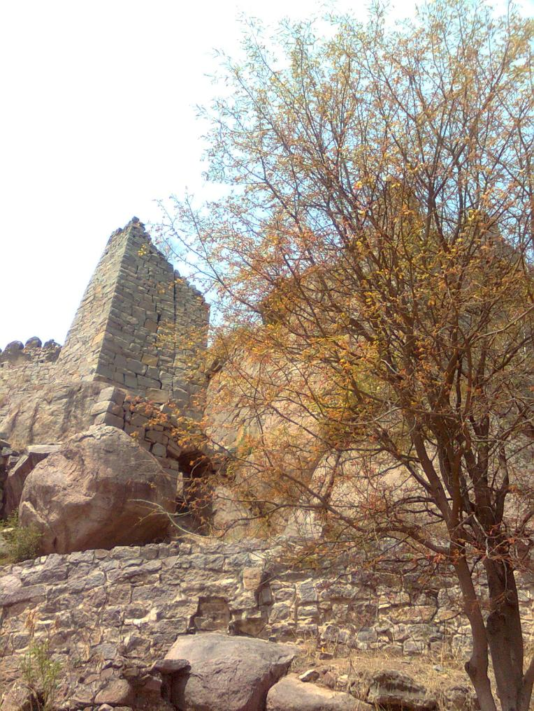 Tender baby leaves appear on a tree with the ruins of Golconda looking on..