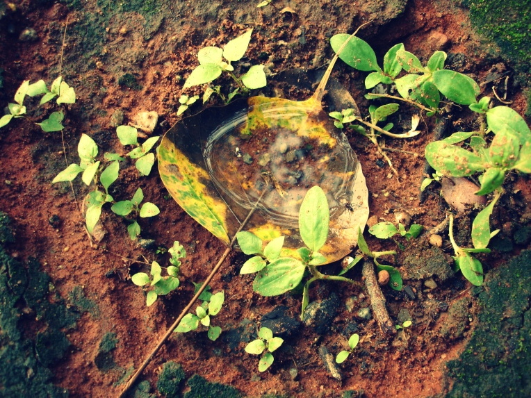 A fallen leaf holding evidence of the first pre-monsoon rains. Notice the Ant at the right corner of the leaf drinking water.Almost trampled on this lil parallel world.