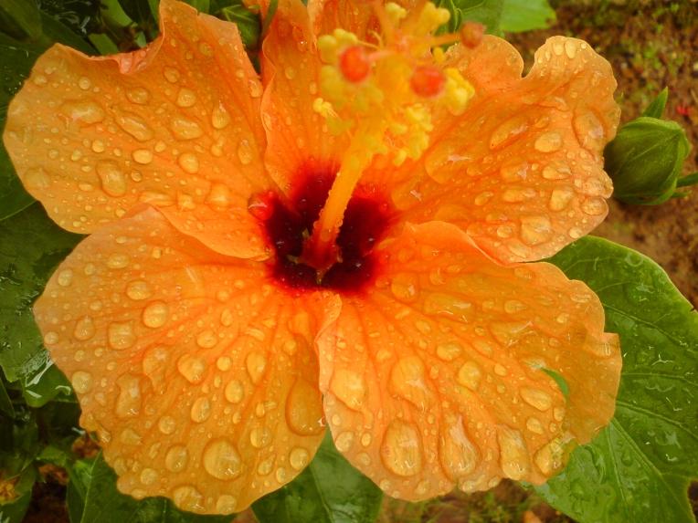 Hibiscus rain