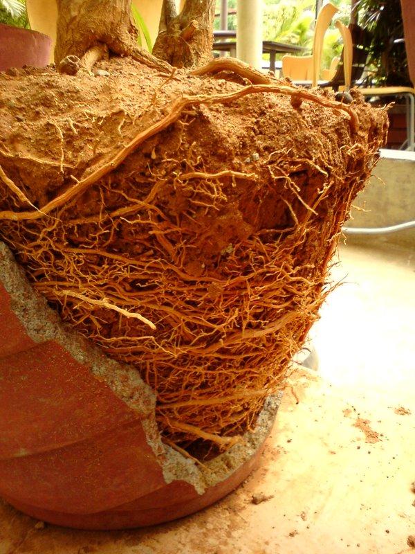 pot plant roots