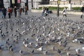 Pigeons Revolt