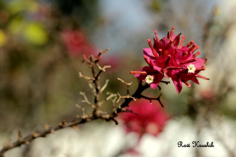 thorn and bouganvilla