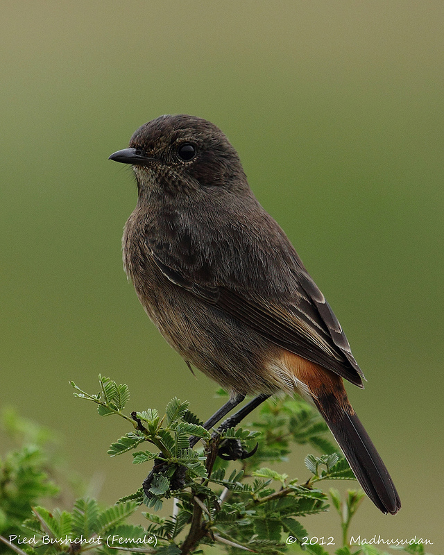 15Jan13_Pied Bush Chat