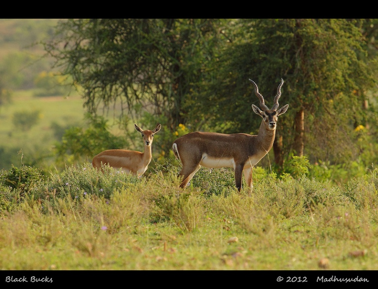 22Jan13_Black Buck Pair