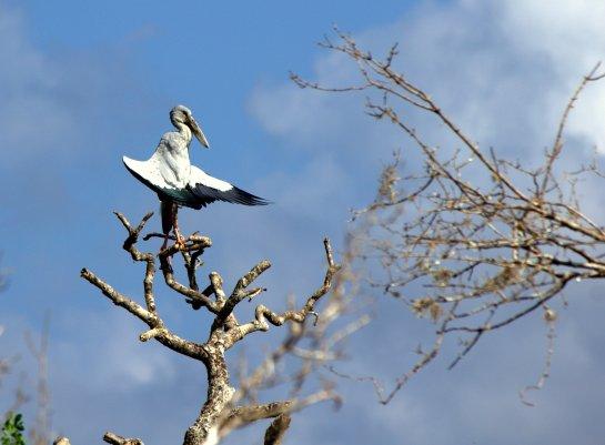 Asian Openbill Yala National Park