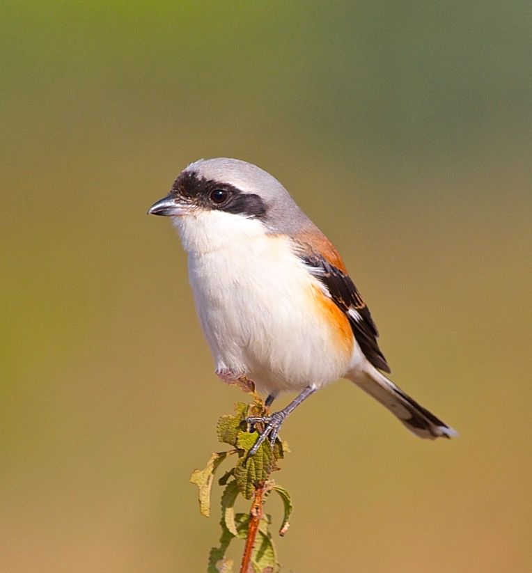Rufous backed shrike
