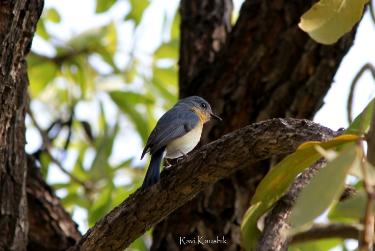 Tickell's Blue Flycatcher cute bird