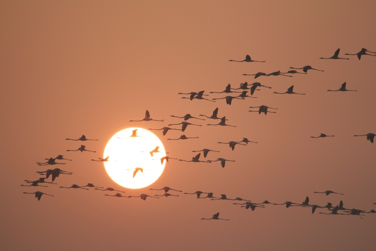 Flamingoes in the Silhouette