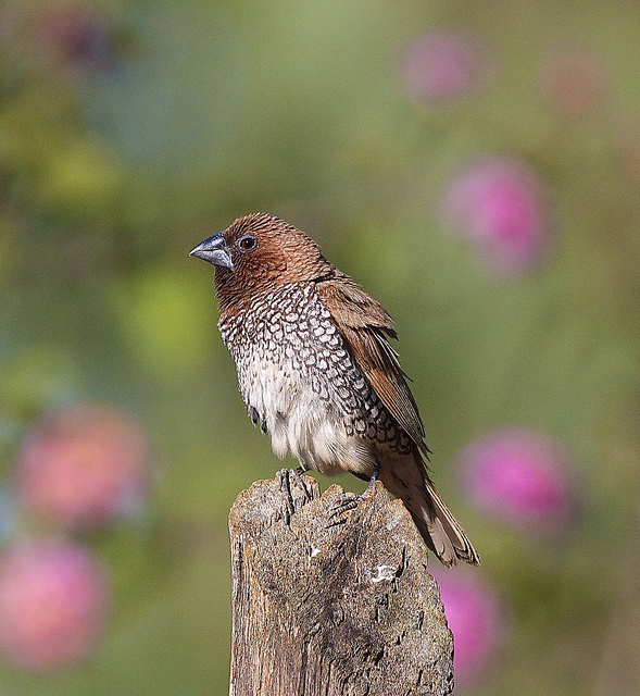 Cute little Munia
