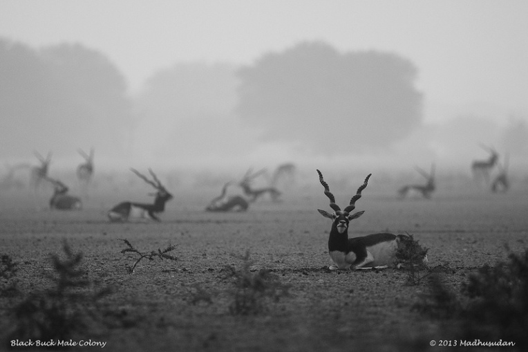 Black Buck Male Colony