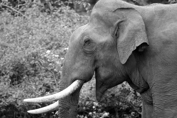 The mighty Tusker