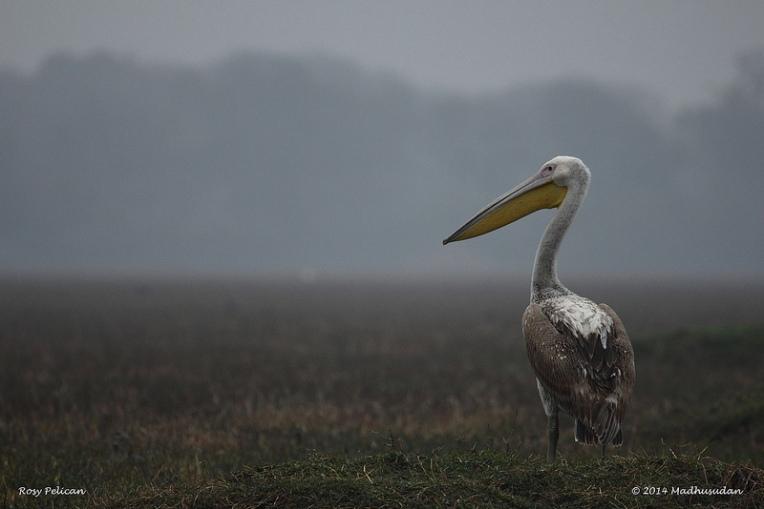 Pelican_10Feb14