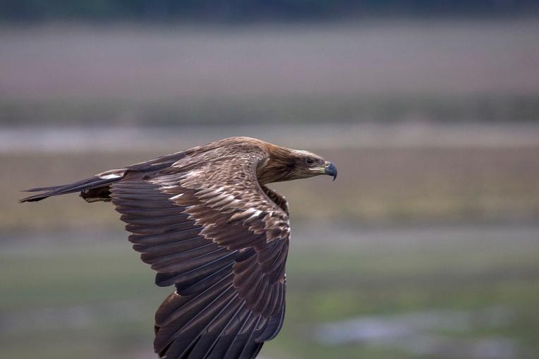Pallas Eagle